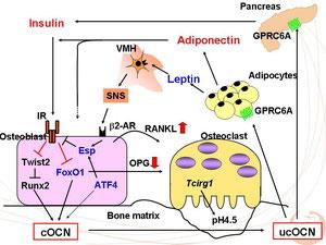 オステオカルシン