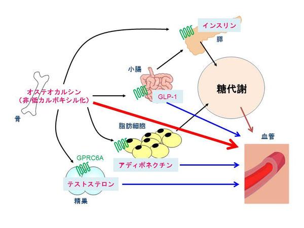 糖代謝、動脈硬化