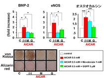 骨芽細胞分化を促進